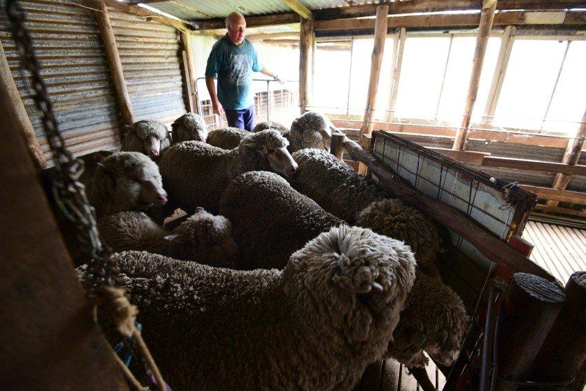 澳洲-袋鼠島-Rob's Shearing and Sheepdogs