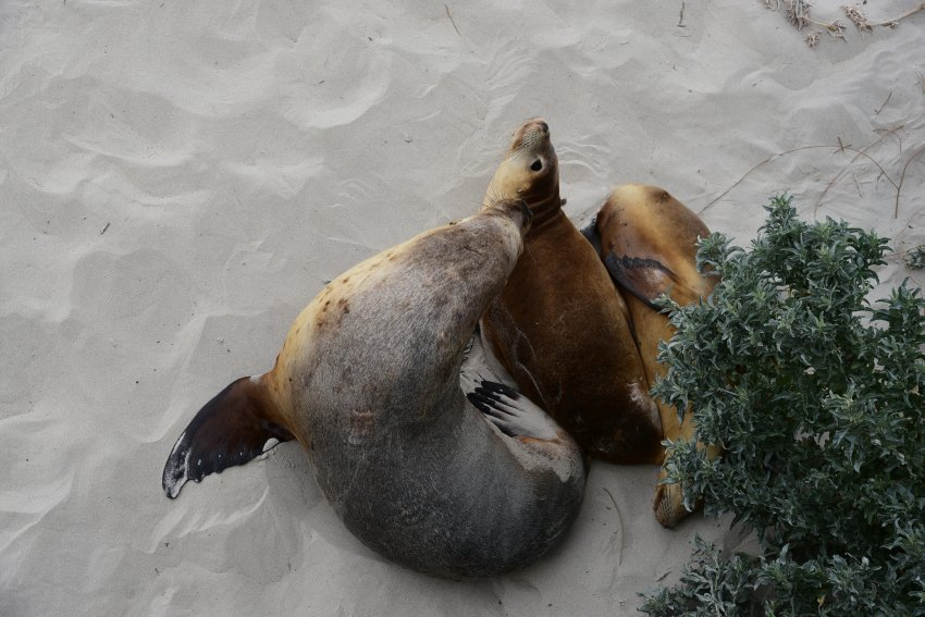 澳洲-袋鼠島-海豹保護公園