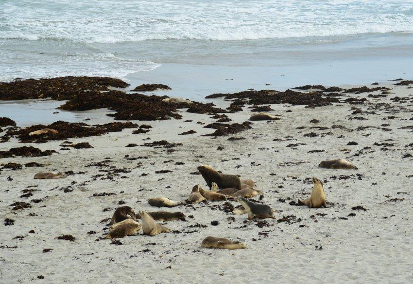 澳洲-袋鼠島-Seal Bay Conservation Park公園