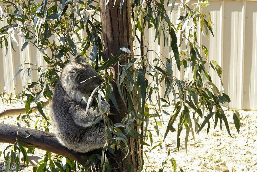 澳洲-墨爾本-動物園