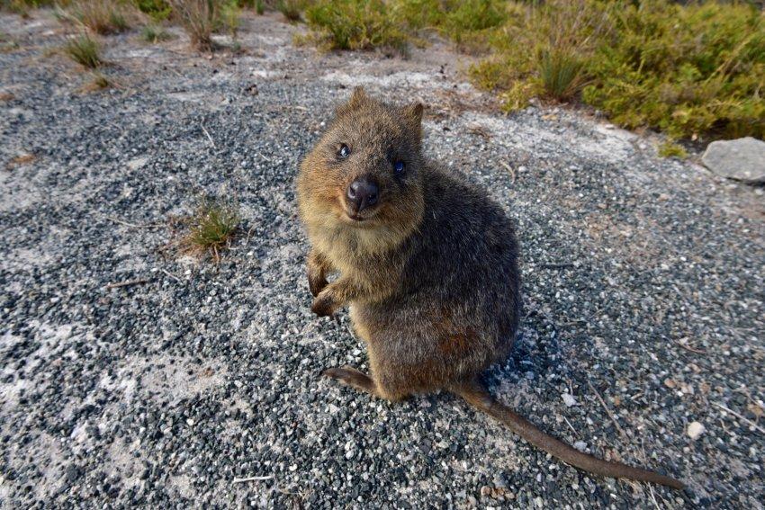 澳洲-西澳-羅特尼斯島-quokka