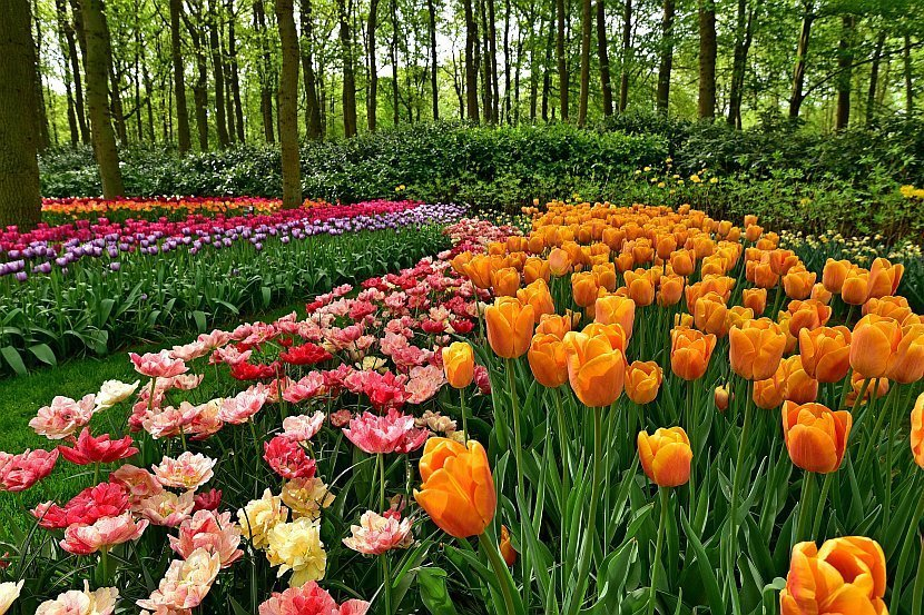 荷蘭-庫肯霍夫公園-鬱金香