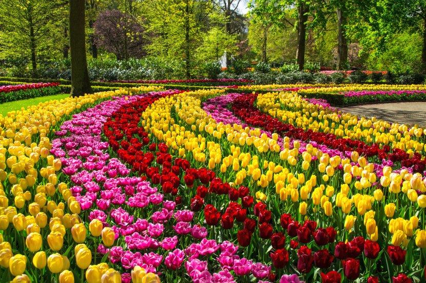 荷蘭-阿姆斯特丹近郊-庫肯霍夫花園鬱金香