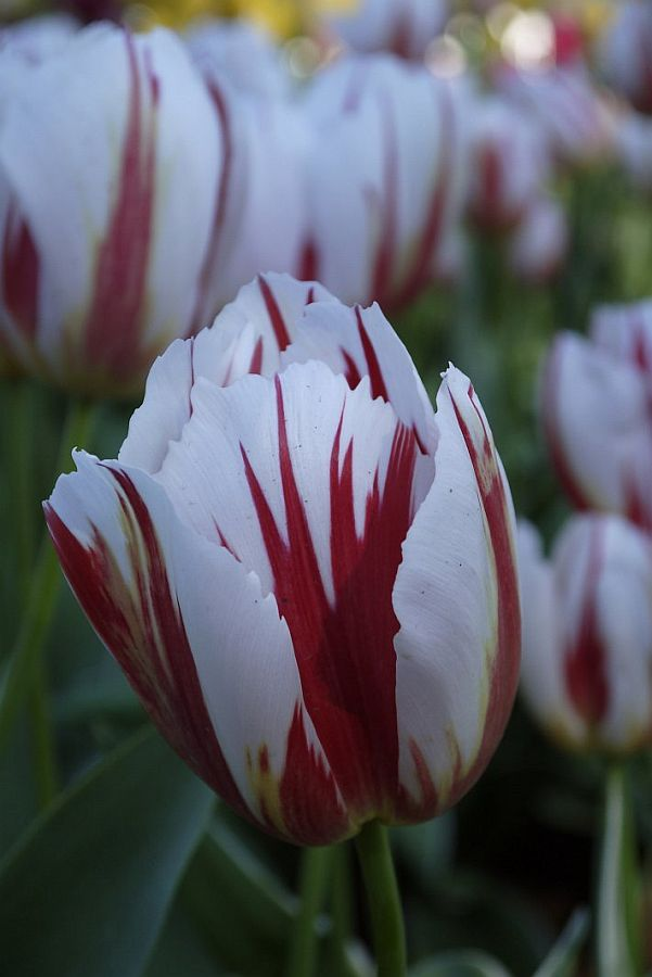 Tesselaar Tulip Festival-墨爾本鬱金香節