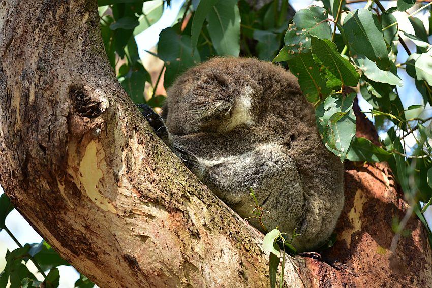 墨爾本-菲利普島-無尾熊保育中心的無尾熊